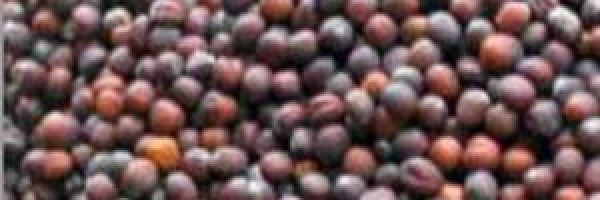 посевные-семена-капусты