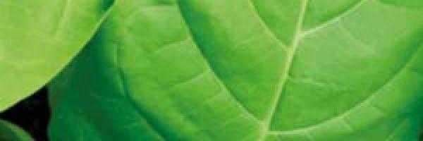 vostochnyiy-aromatnyiy-tabak
